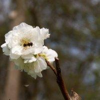 Пчелка :: Николай Сухоруков