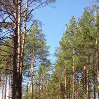 весенний лес :: надежда