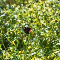 Бабочка. :: Артём Шкляр