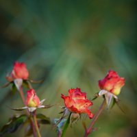 Осенние розы :: Алексей Вольтов