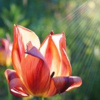 Цветок в лучах солнца :: Андрей Майоров
