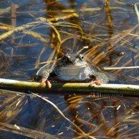 Царевна лягушка :: Марина Никулина