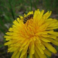 Собирать с цветов нектар, В том пчелиный редкий дар. :: Владимир Николаевич