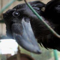 чёрный ворон :: elena manas
