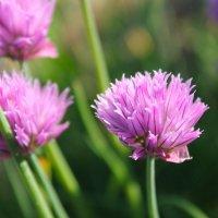 ^Милые фиолетовые цветы зеленого лука^ :: Ольга Евдокимова