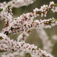 вишня цветёт :: Ярослава Бакуняева