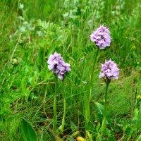Ятрышник-дикая орхидея. :: Береславская Елена