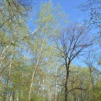 Дорога в весеннем лесу :: Сергей Тагиров