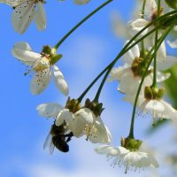 Вишенка цветет нарядная в моём маленьком саду. :: Валентина ツ ღ✿ღ