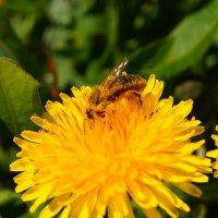 пчелка Майя :: Alexandr Staroverov