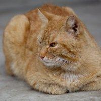 Кошак обыкновеный :: Руслан