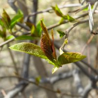 Первая зелень, Первого мая :: Надежда Чернецкая