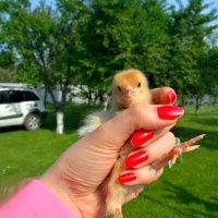 будущая курица :: oxana