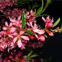 цветы розовые Миндаль :: °•●Елена●•° Аникина♀