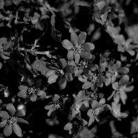 black flowers :: Анастасия Фролова