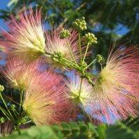 Цветёт альбиция ленкоранская :: Balakhnina Irina