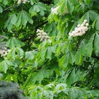 Цветут каштаны в мае... :: Тамара (st.tamara)