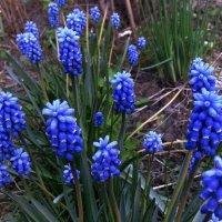 Голубые мускари. :: Мила Бовкун