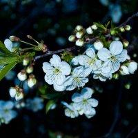 Цветущая вишня :: Светлана Малкина