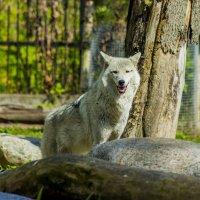 Волчье очарование ... :: Михаил Юрин