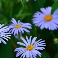 цветы :: Людмила