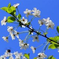 Цветение вишни - это прекрасное время весны. :: Валентина ツ ღ✿ღ