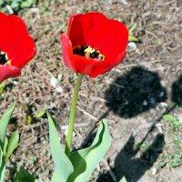 алые майские городские цветы :: Олег Лукьянов
