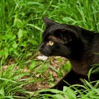 Багира вышла на охоту :: Albina