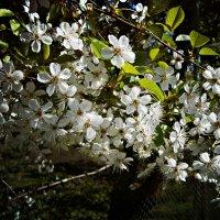 Весна :: Лариса Коломиец