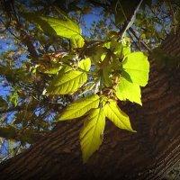 Солнечные листочки клёна. :: Мила Бовкун