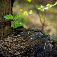И на пеньках растут деревья... :: Александр