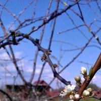Алыча цветет... :: Наталия Зыбайло