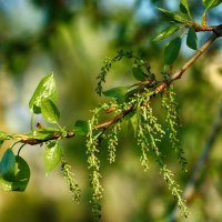Весенний цвет :: Болеслав (Boleslav)