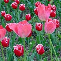 Майские тюльпаны :: Вера Щукина