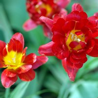 Цветочки аленьки.. :: Андрей Заломленков