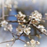 Белая весна :: Swetlana V