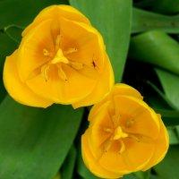 Желтые тюльпаны-вестники разлуки :: Рина Воржева