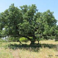 Ливанский дуб. :: Валерьян
