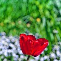 Майский тюльпан :: Геннадий Тимохин