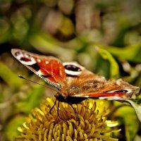 Бабочка :: Геннадий Тимохин