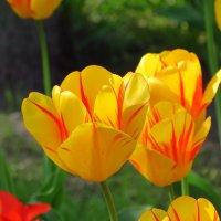 Тюльпаны :: Юлия Семенченко