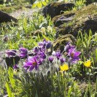 Весенние цветы :: Aнна Зарубина