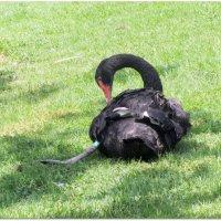 Черный лебедь :: Герович Лилия