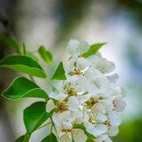 Яблоня цветёт :: Игорь Герман