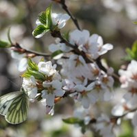 Бабочка на вишне :: Наталья Никитина