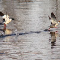 по воде як по суше) :: linnud