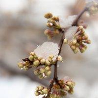 Майский снег... :: Евгения Каравашкина