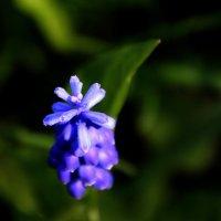 Цветут мускарики...!!!) :: Валерия  Полещикова