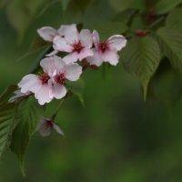 Цветёт абрикос :: lady-viola2014 -