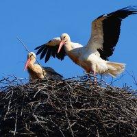 на гнезде :: linnud